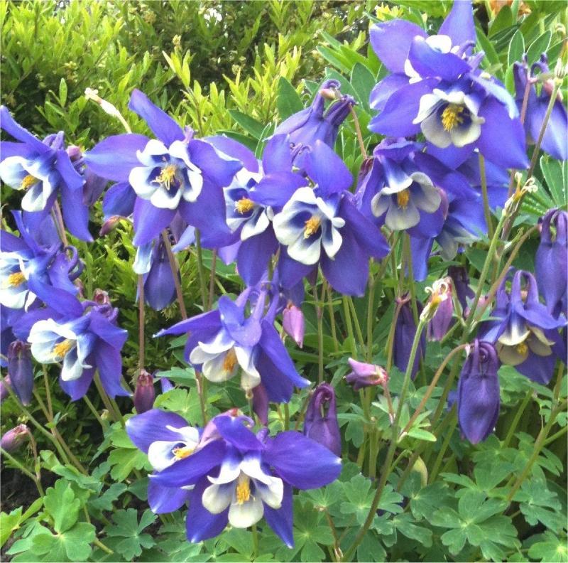 Aquilegia-caerulea-Blue-Star