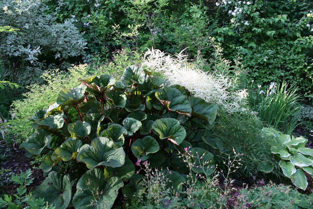 Волжанка растение
