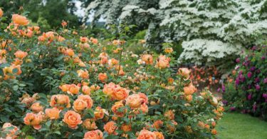 Розы Остина в саду