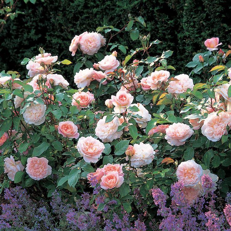 Розы Остина в Подмосковье