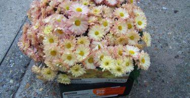 Chrysanthemum Branbeach Apricot