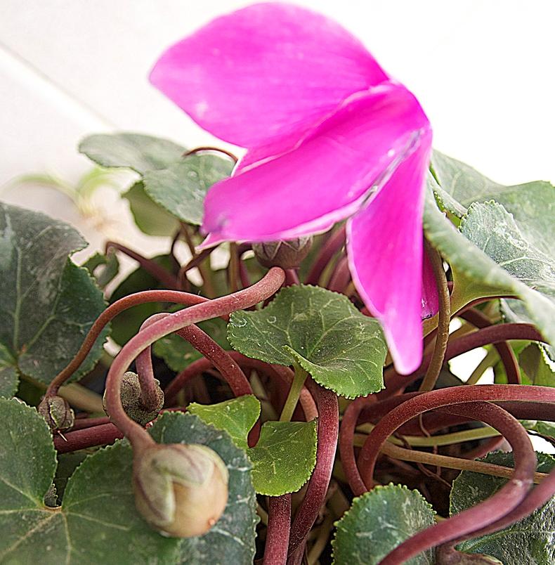 Выращивание цикламенов семенами в домашних условиях 149