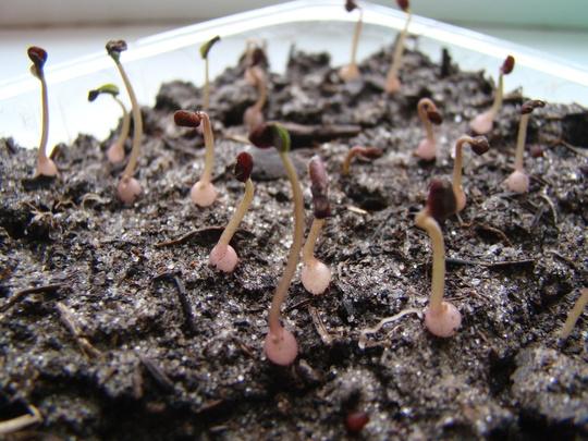Цикламен из семян