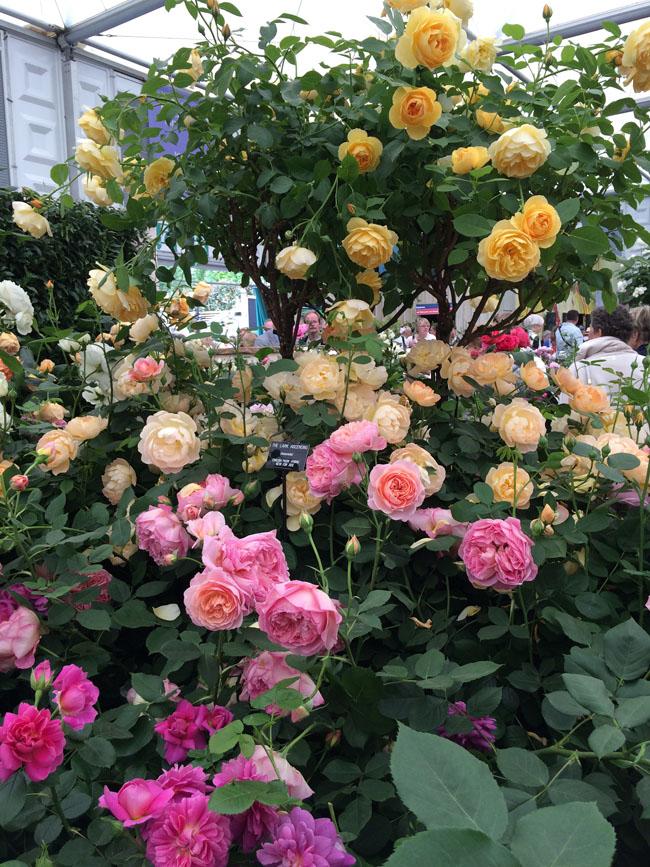 Сочетание сортов роз