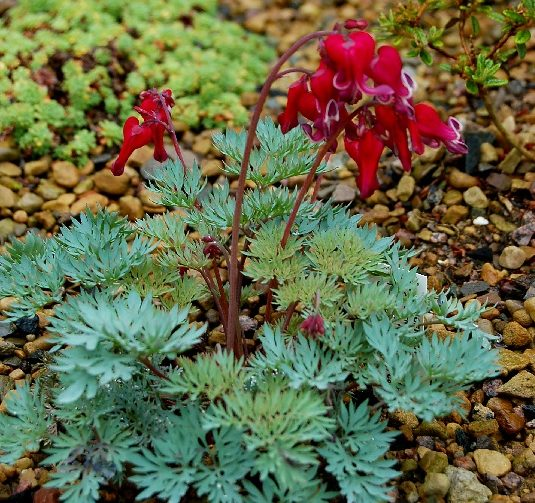 Dicentra-Bleeding-Heart
