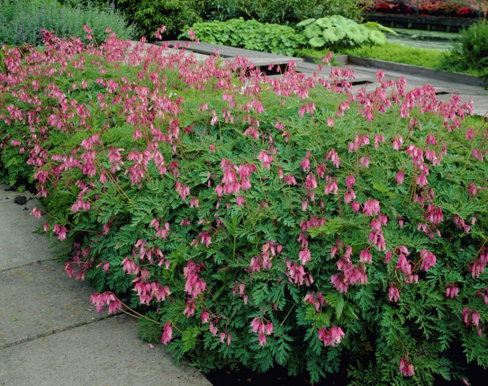 Dicentra formosa Luxuriant