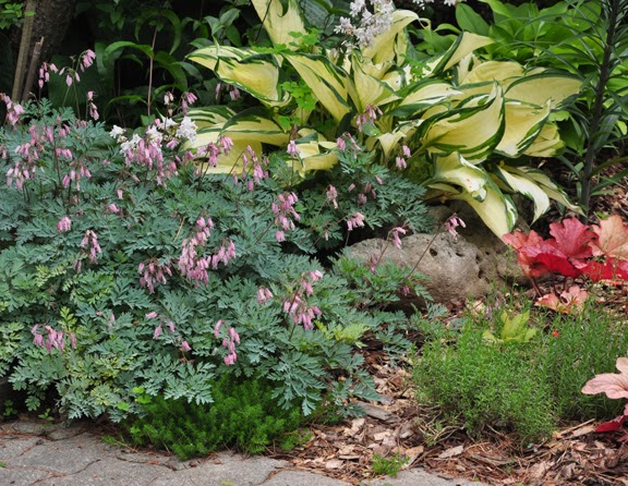 Dicentra-Stuart Baoothman-and-Hosta-Dancing-in-the-Rain
