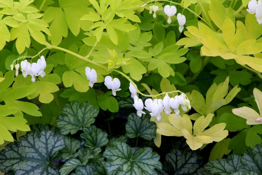 Dicentra-white-gold
