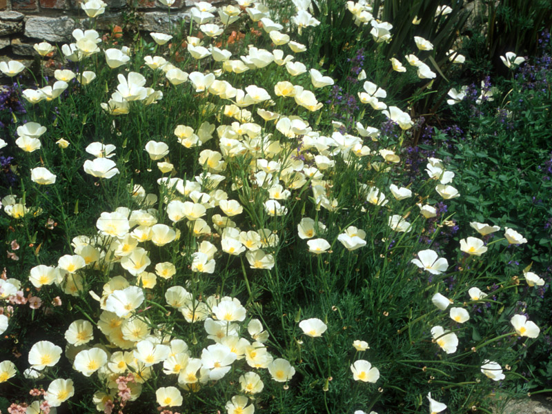 Eschscholzia californica 'Alba'