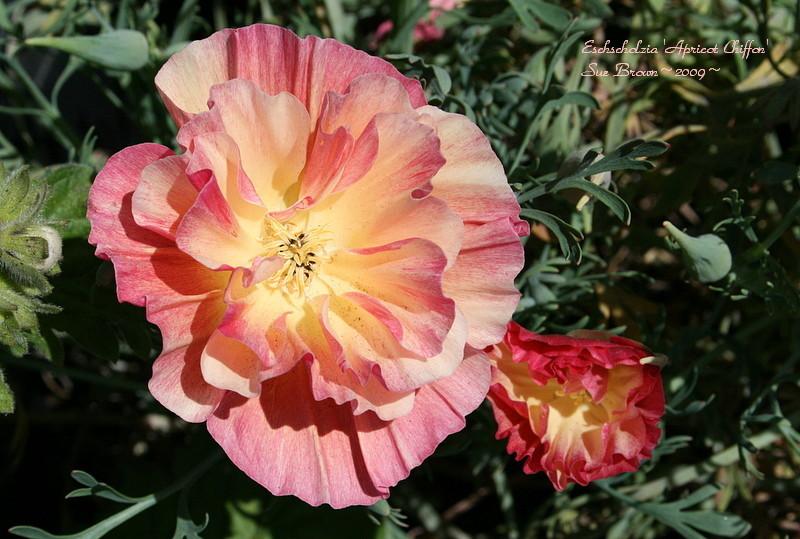 Eschscholzia californica Apricot Chiffon