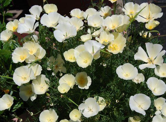 Eschscholzia californica 'Milky White'