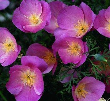 Eschscholzia californica 'Purple Gleam'