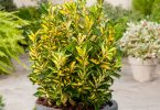 Euonymus-japonicus-Aureus