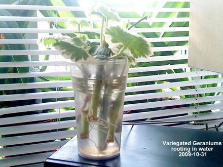 Размножение пеларгонии черенками в домашних условиях