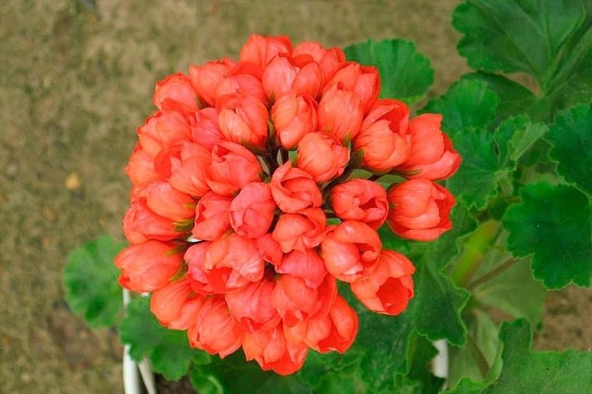 Герань тюльпановидная
