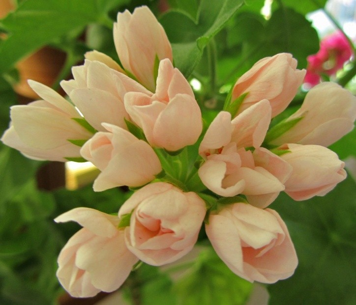 Пеларгония тюльпановидная