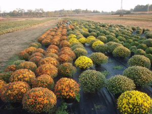 Шаровидная хризантема посадка и уход