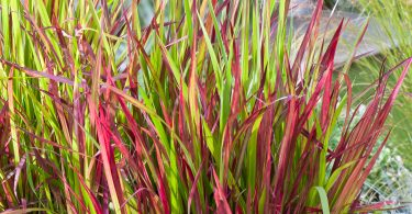 "Imperata Cylindrica "" Red Baron"""