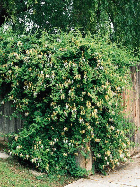 Lonicera japonica - Жимолость японская
