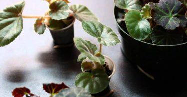 Как вырастить клубневую бегонию из семян