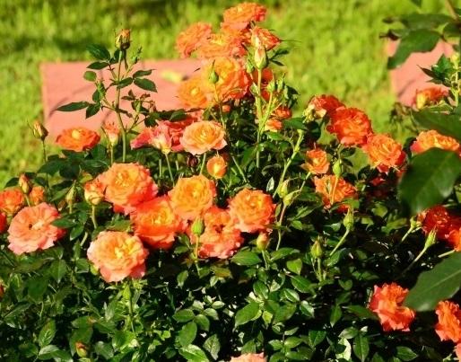 Миниатюрные розы: россыпь живых бриллиантов