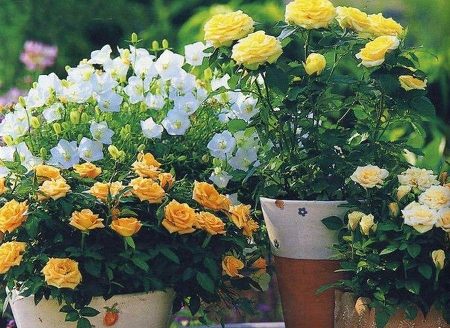 Розы в контейнерах и горшках