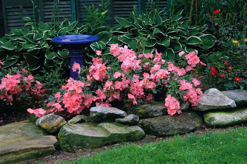 Использование роз шрабов в ландшафтном дизайне