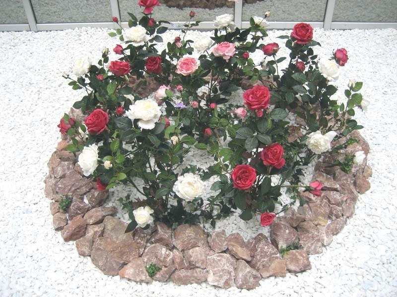 Клумбы с мини-розами