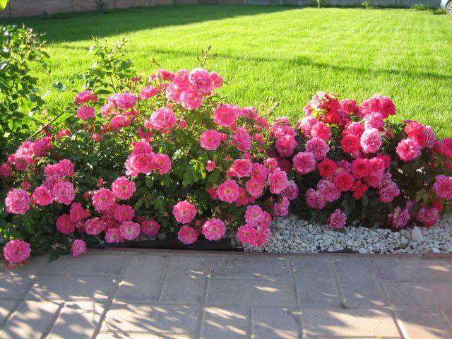 Применение мини-роз в качестве бордюра