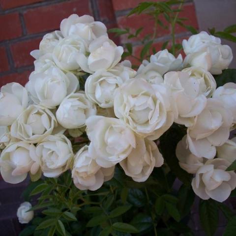 Мини-роза Morsdag wit