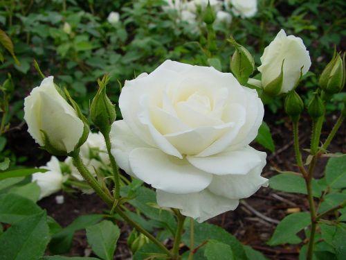 Мини-роза Princess