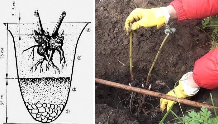 Как подкормить и чем пионы лилии
