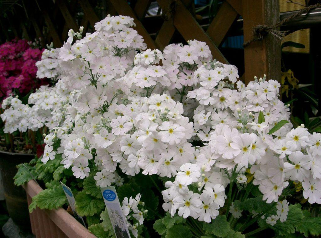 Примуля мягковатая (Primula malacoides)