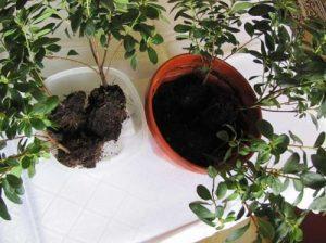 Азалия размножение в домашних условиях
