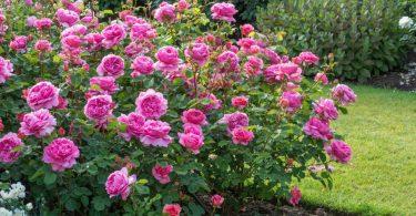 Розы Остина, сорт Александра Кент
