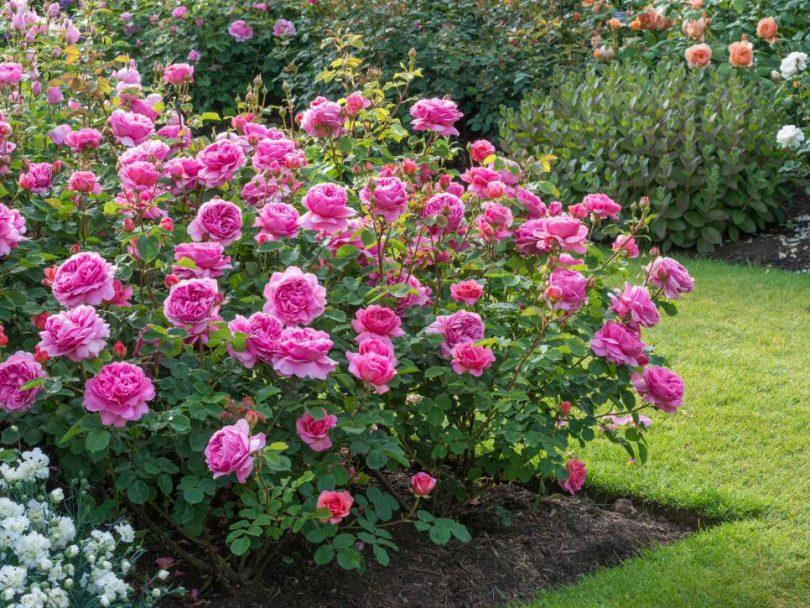 Розы лучшие сорта для подмосковья