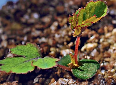 Выращивание розы из семян купленных в китае