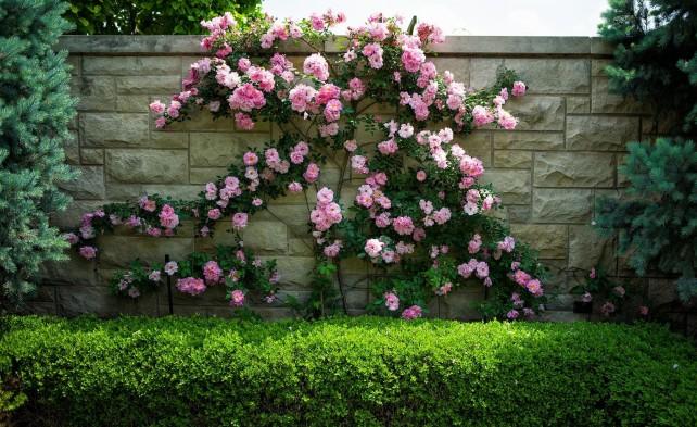 Чем хороши розы-шрабы