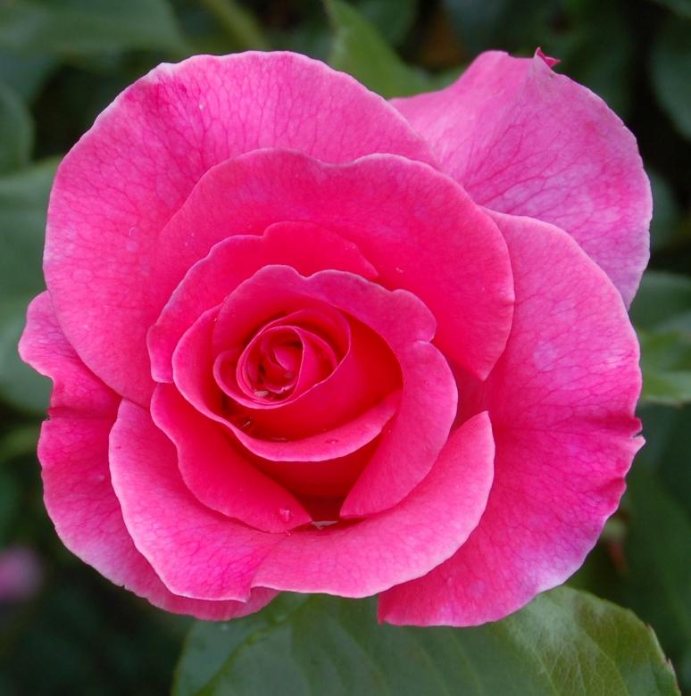 Сорт розы из группы шрабов - Romanze