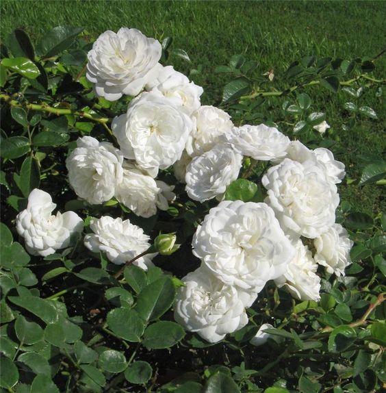 Роза Snow Ballet