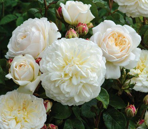 Сорт Дэвида Остина - The Lady Gardener