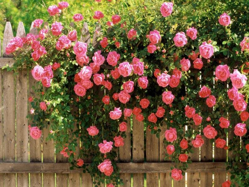 Особенности роз-шрабов
