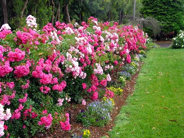 Розы-шрабы в качестве живой изгороди