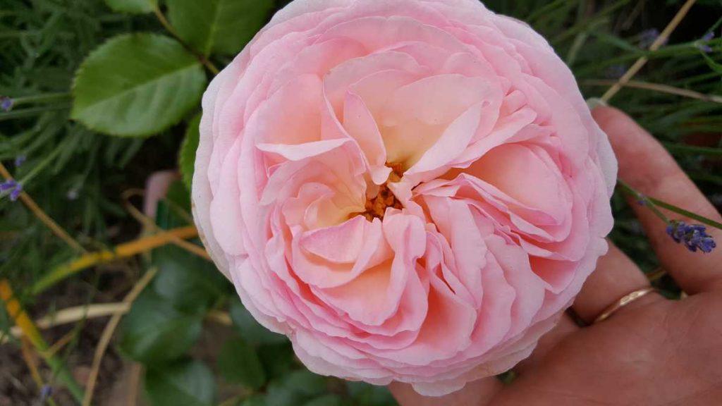 Роза Магнет Шраб