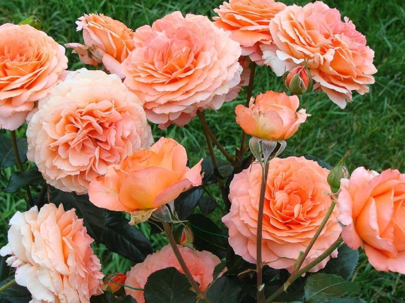 Роза сорта Belvedere