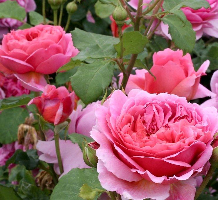 Роза сорта Kennys Shrub