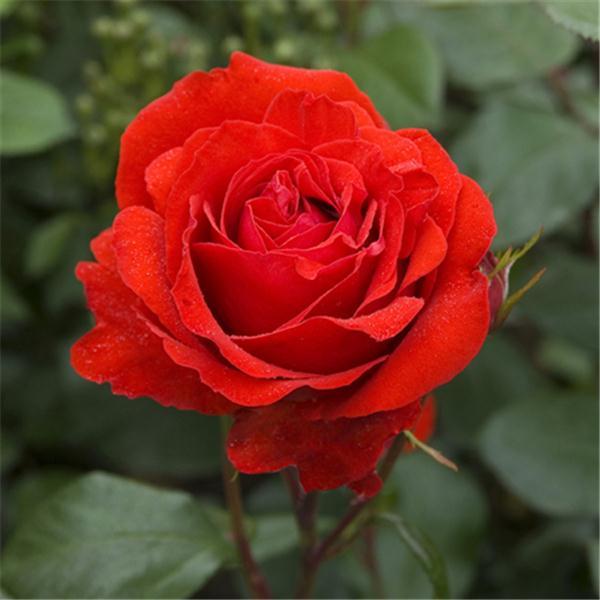 Сорт розы Rose Fluorescent