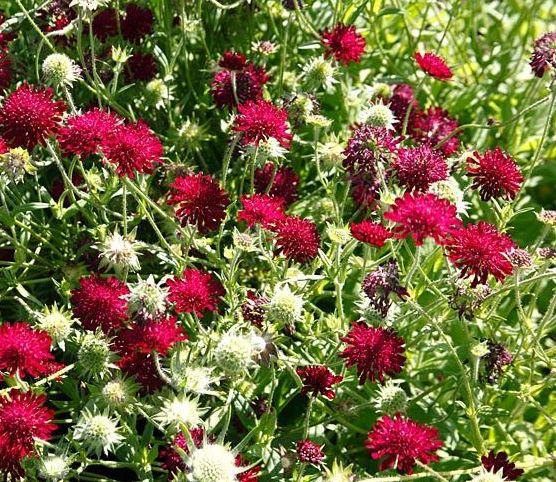 Scabiosa graminifolia - Burgundy Bonnets