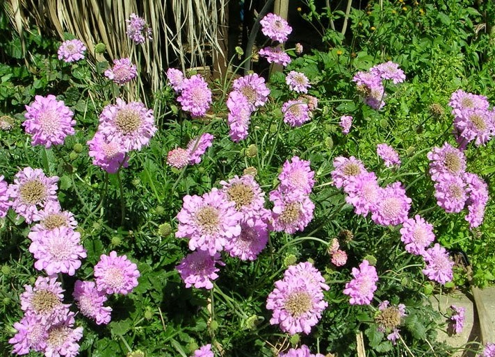 Scabiosa japonica Pink Diamonds