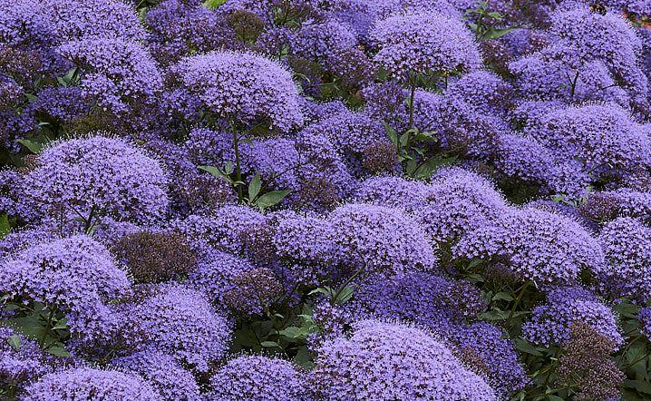 Trachelium caeruleum Passion in Violet